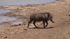 Warthog, phacochoerus aethiopicus, Adult having Mud Bath, Nairobi Park in Kenya,. Slow motion stock video footage