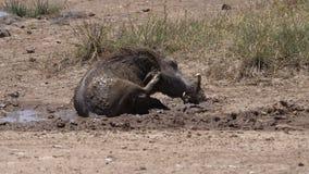 Warthog, phacochoerus aethiopicus, Adult having Mud Bath, Scratching, Nairobi Park in Kenya,. Slow motion stock footage