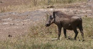 Warthog, phacochoerus aethiopicus, Adult in Savannah, Nairobi Park in Kenya, real Time. 4K stock video