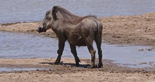 Warthog, phacochoerus aethiopicus, Adult standing at Water Hole, Nairobi Park in Kenya, real Time. 4K stock video