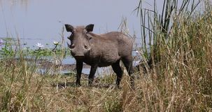 Warthog, phacochoerus aethiopicus, Adult at the Water Hole, Nairobi Park in Kenya, real Time. 4K stock video footage