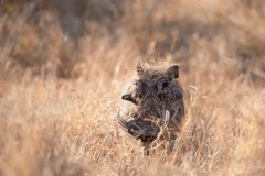 Warthog (Phacochoerus aethiopicus). The Warthog or African Lens-Pig (Phacochoerus aethiopicus) is a wild member of the pig family that lives in grassland Stock Photo