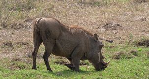 Warthog, phacochoerus aethiopicus, dorosli Je trawy, Nairobia park w Kenja, zbiory wideo