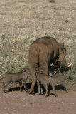 Warthog, Phacochoerus aethiopicus Royalty Free Stock Image