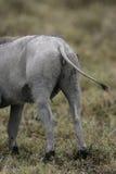 Warthog, Phacochoerus aethiopicus Royalty Free Stock Photography