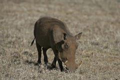 Warthog, Phacochoerus aethiopicus Royalty Free Stock Images