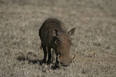 Warthog, Phacochoerus aethiopicus Stock Photo