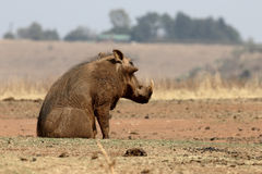Warthog, Phacochoerus aethiopicus Royalty Free Stock Photo