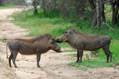 Warthog (Phacochoerus africanus) Obraz Royalty Free