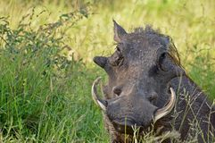 Warthog (Phacochoerus africanus) Fotografia Stock