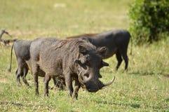 Warthog (Phacochoerus africanus) Zdjęcia Stock