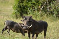 Warthog (Phacochoerus africanus) Zdjęcie Stock