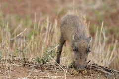 Warthog (Phacochoerus africanus) Obrazy Royalty Free