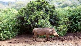 Warthog (Phacochoerus africanus) Zdjęcie Royalty Free