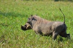 Warthog (Phacochoerus africanus) bieg Fotografia Stock
