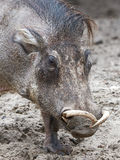 Warthog (Phacochoerus africanus) Royalty Free Stock Photos