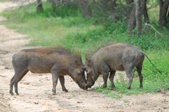 Warthog (Phacochoerus africanus) Royalty Free Stock Photo