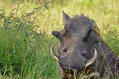 Warthog (Phacochoerus africanus) Stock Photography
