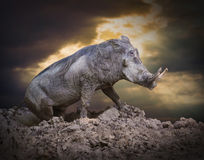 The Warthog. Royalty Free Stock Photos