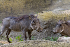Warthog - phacochoerus africanus Royalty Free Stock Photography