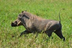 Warthog (Phacochoerus africanus) running Royalty Free Stock Images
