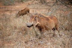 Warthog (Phacochoerus africanus) Royalty Free Stock Images