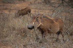 Warthog (Phacochoerus africanus) Royalty Free Stock Photos