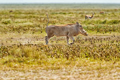 Warthog, Phacochoerus africanus in Serengeti. Stock Photo