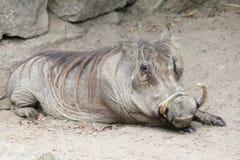 Warthog (Phacochoerus africanus) Royalty Free Stock Photo