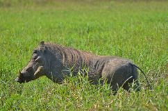 Warthog (Phacochoerus africanus) w Kruger parku narodowym Zdjęcie Stock