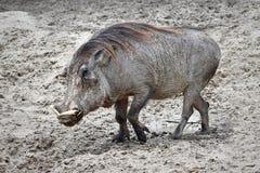 Warthog (Phacochoerus africanus) Stock Images