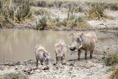 Warthog (Phacochoerus africanus) royalty free stock photography