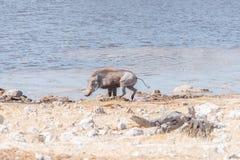 A warthog, Phacochoerus africanus, at a waterhole Royalty Free Stock Photography