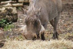 Warthog - Phacochoerus africanus Royalty Free Stock Image