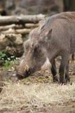 Warthog - Phacochoerus africanus Stock Photography