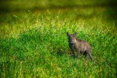 Warthog (Phacohoerus aethiopicus) Royalty Free Stock Photo
