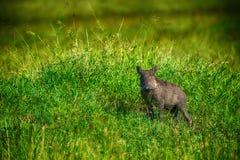 Warthog (Phacohoerus aethiopicus) Royalty Free Stock Photo