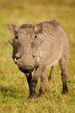 Warthog photographed frontally Stock Photos