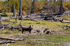 Warthog pig, Okavango delta, Africa wildlife. African Wildlife Warthog, National Park Moremi, Okawango delta, Botswana, Africa safari wildlife and wilderness Royalty Free Stock Images