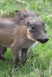 Warthog Piglet Royalty Free Stock Image