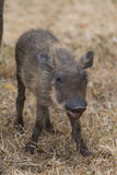 Warthog Piglet. Portrait of warthog piglet with smile on face, vertical view Royalty Free Stock Images