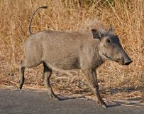 Warthog piglet in Africa Stock Images