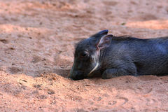 Warthog piglet Royalty Free Stock Photo