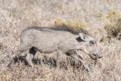 Warthog piglet blends in with dry grass Royalty Free Stock Photo