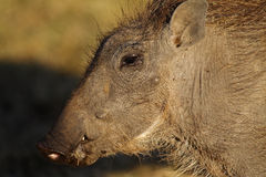 Warthog piglet, Masai Mara Royalty Free Stock Photography