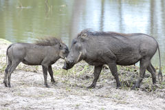 Warthog with piglet Stock Photography