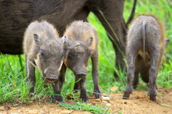 Warthog. Piglets feeding with the mother Royalty Free Stock Photos