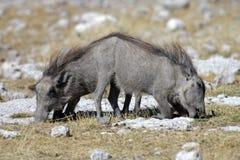 Warthog piglets grazing, Etosha, Namibia Royalty Free Stock Photo