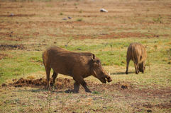 Warthog in Pilanesberg National Park,South Africa Royalty Free Stock Photography
