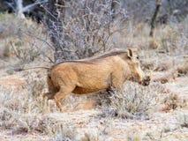 Warthog podróżuje przez Mokala parka narodowego blisko Kimberly w Południowa Afryka Fotografia Royalty Free
